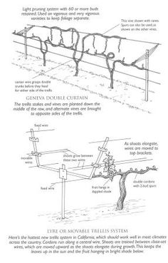 KSU Viticulture Canopy Managment and Trellising How To :) happy I found this for the grapevine.
