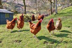 Best chicken breeds for backyard flocks