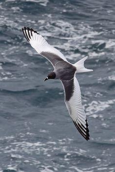 Swallow-tailed Gull (Creagrus furcatus) - Española Island, Galápagos