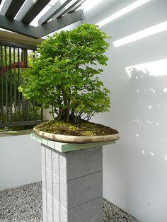 British National Bonsai Collection, Ulmus minor | Flickr: Intercambio de fotos