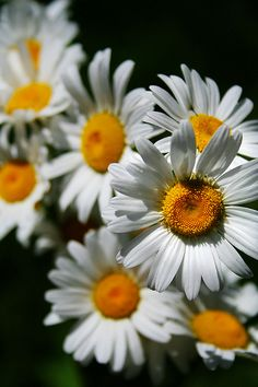 I never see a daisy without getting flooded of memories of Cindy Sue.