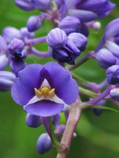 Dichorisandra thyrsiflora  Wonderful Places | Amazing Pictures