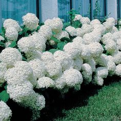 Annabelle Hydrangea   Zone	4 - 9  Bloom Season	Early Summer - Late Summer  Plant Height	4 ft - 5 ft  Plant Width	3 ft - 5 ft  Additional Characteristics	Bloom First Year, Easy Care Plants, Flower, Long Bloomers, Repeat Bloomer, Free Bloomer  Bloom Color	White  Light Requirements	Part Shade