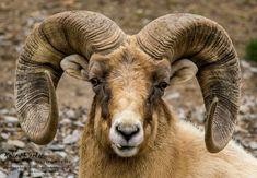 Rocky Mountain Bighorn Sheep.