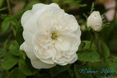 'Madame Hardy ' Rose by HelpMeFind.com user Teddy63/ Teddy Photography