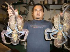 Monster Ayuyu (Coconut Crab) , still creeping around a Jungle near you ! Coconut Crab, Going Postal, Hooded Blanket, Ocean Creatures, Guam, Crabs, Island Life, Air Force, Eye Candy