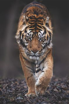 The tiger is one of nature's most feared predators & we can see why! This tiger means business! W/ a serious look & a purposeful direction, this tiger is on a mission. Nature Animals, Animals And Pets, Cute Animals, Animals Images, Serval, Beautiful Cats, Animals Beautiful, Beautiful Pictures, Tiger Fotografie
