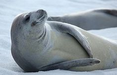 We hear a lot about polar bears and other Arctic mammals in connection to climate change, but what about biodiversity in Antarctica? The Blue Planet, Wildlife Biologist, Live Animals, Sea Otter, Antarctica, Creature Design, Ocean Life, Marine Life