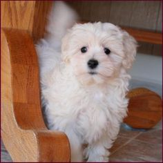 Maltipoo as Adults | once they have noticed that you are welcoming in the visitor they are ...