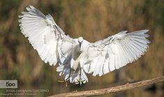 little egret.. by MargittaThomann. Please Like http://fb.me/go4photos and Follow @go4fotos Thank You. :-)