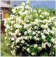UÆGTE JASMIN - PHILADELPHUS LEMOINEI BELLE ETOILE  Mellemhøj, løvfældende busk, som bliver 1-2 m høj og 0,9-1,2 m bred.  Blomstrer i juli måned.  Små hvide blomster.  dufter af jordbæris og gammeldags ballontyggegummi.  Trives i sol/halvskygge.  Vokser i almindelig næringsrig havejord.  Middeltvoksende, overhængende og middel hårdfør busk.