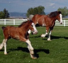 Budweiser Clydesdales at Fort Collins Tour Center, Colorado Clysdale Horses, Draft Horses, Breyer Horses, Most Beautiful Animals, Beautiful Horses, Beautiful Creatures, Clydesdale Horses Budweiser, Barrel Racing Horses, All The Pretty Horses