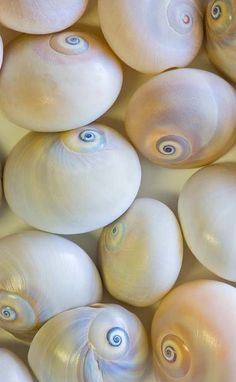 Shell grouping MOON SHELLS!!!!! I LOVE THEM!!!! THEY ARE REALLY COOL WHEN YOU PAINT THEM DIFFERENT COLORS OR SHELACK THEM TO MAKE EM SHINY!!!!! :) At the beach or on the boat - your iPad needs a Splashtablet iPad Case, under $40 & Free Shipping on Amazon