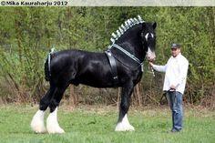Shire horse stallion Noble Arthur