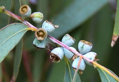 Eucalyptus perriniana - April 2017