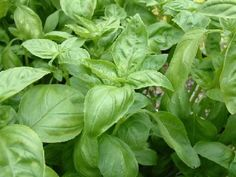 BASIL could be the favorite summer herb of food gardeners. Master Gardener Steven Hightower gives us the scoop on varieties, cultivation and care and culinary uses including preserving basil for use after summer passes.