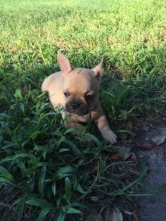 Akc French Bulldog Puppy 11 Weeks French Bulldog French