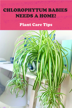 how to separate spider plant babies and pot them properly! #chlorophytumcomosum #propagation #spiderplant #