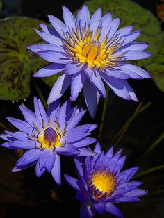 Day bloom tropical waterlily, Blue Daisy