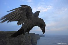 Raven flying over the Cliffs of Mohr.