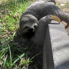 #sloth #lazy #bichopreguica #rio #brasil