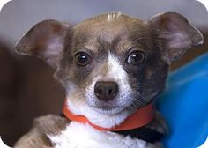 Pictures of Zora a Chihuahua Mix for adoption in Colorado Springs, CO who needs a loving home.