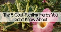 Many people suffer from gout, but not everyone knows how to relieve the pain it brings. These herbs reduce the swelling and pain brought on by gout attacks.