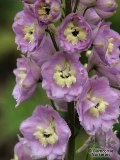 DELPHINIUM 'Pink River'  - All pictures are for illustrative purposes only. The actual condition of individual plants may of course vary depending on the time of the year, the weather and growing conditions at that time.