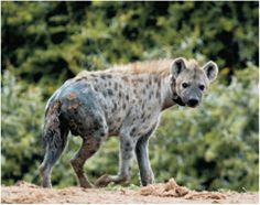 Get up close and personal with the world's largest land mammal, the majestic elephant, at the Addo Elephant National Park. Hyena, Kangaroo, Africa, Adventure, Animals, Animales, Animaux, Kangaroos, Adventure Game