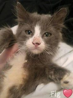 #Montreal people! Open your heart for fluffy FIG (sweet boy from our veggie litter), looking for a forever home, maybe with you? Contact www.facebook.com/cause4paws #catrescue #adoption