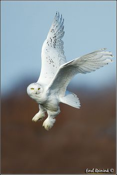 Snow Owl (30112-0184) by Earl Reinink, via Flickr