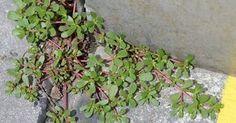 """Kennst du das grünblättrige """"Unkraut """"in deinem Garten mit dicken Stielen, das überall zu sprießen scheint, wo du es nicht willst? Fast jeder denkt nur, dass es ein übliches und nutzloses Unkraut ist."""