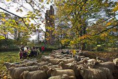 Sheep Herd, Oosterhout, the Netherlands Professional Photographer, Netherlands, Sheep, Wood, Photography, The Nederlands, The Netherlands, Photograph, Woodwind Instrument