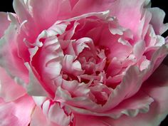 thepaintedbench:   Pink Peony - Out the Front Window