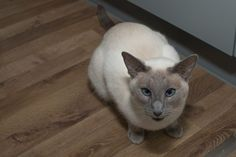 siamese-cat-1751740_1920