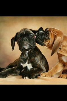 pics of boxer dogs Cute Boxer Puppies, Boxer Dog Puppy, Doggies, Rottweiler Puppies, Boxer And Baby, Boxer Love, Funny Dog Pictures, Cute Animal Pictures, I Love Dogs