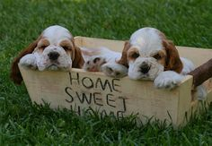 Cocker Spaniel Puppies.