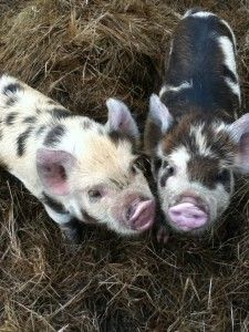 Kunekune pigs these are the rare breed pigs I plan to raise in New Mexico . Pet Pigs, Baby Pigs, Baby Goats, Farm Animals, Animals And Pets, Cute Animals, Micro Mini Pig, Kune Kune Pigs, Pig Breeds