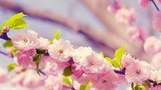 DIY frame Sakura Cherry Blossom Close-up Flower Nature Poster Art Silk Fabric Wall For Home Decoration Print Picture Flower Desktop Wallpaper, Frühling Wallpaper, Spring Flowers Wallpaper, Cherry Blossom Wallpaper, Cherry Blossom Flowers, Pink Blossom, Peach Blossoms, Flower Backgrounds, Desktop Wallpapers