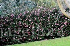 camelia as a hedge for privacy