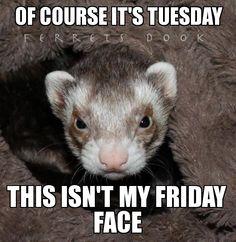 the everyday ferret