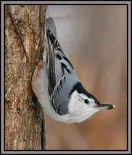 Whitebreasted Nuthatch 12/2011
