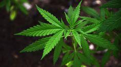 """""""Man sollte die Zahl der Pflanzen, die man privat anbauen darf, begrenzen"""", sagt der Jugendrichter Andreas Müller. Er befürwortet eine Legalisierung von Cannabis."""