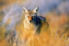 California Bans Wildlife-Killing Contests -- Regulators call shooting coyotes and other animals for money 'unethical.'
