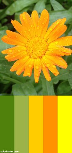 Rain Dappled Calendula Flowers Color Scheme from colorhunter.com Calendula, Colour Combinations, Color Schemes, Pallet Boxes, Colour Pallete, Color Swatches, Color Theory, Colorful Flowers, Home Projects