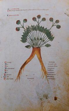 fraises - Codex Vindobonesis 93 - XIIIéme siècle