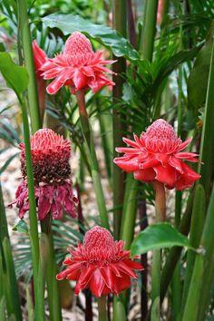 frangipanier un arbuste exotique pour l 39 int rieur garden flower pinterest frangipanier. Black Bedroom Furniture Sets. Home Design Ideas