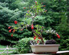 pomegranate bonsai | dwarf_pomegranate_bonsai© | Flickr - Photo Sharing!