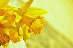 Żonkil, Kwiat