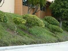 Shrubs turned into mini trees...on a slope...this 'gardener' created busy work.